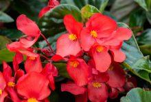Begonya Çiçeği