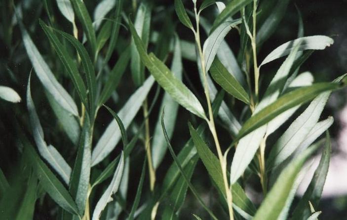 Söğüt Yaprağı ile Siğil Tedavisi Nasıl Yapılır