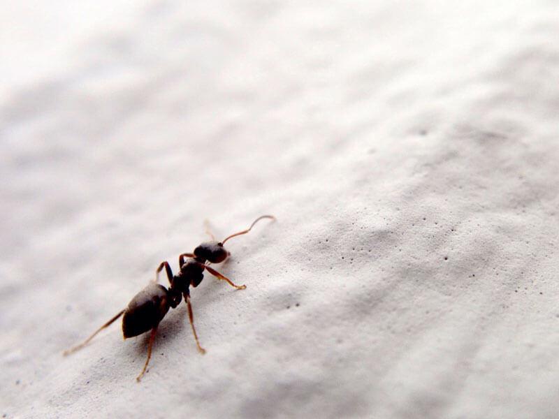 Karıncaları Ne Kaçırır