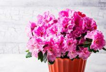Açelya Çiçeği Bakımı Nasıl Olmalıdır?