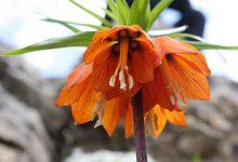 Ağlayan Gelin Çiçeği