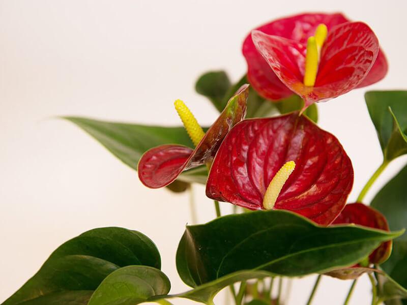 Antoryum Çiçeği Tohumu