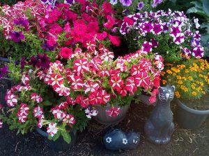 Cam Güzeli Çiçeği Nerede Durmalı