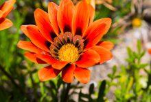 Gazanya Çiçeği Bakımı Nasıl Yapılmalı?