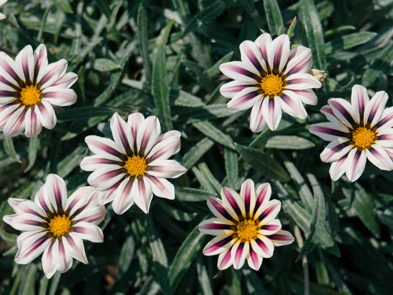 Gazanya Çiçeği Nasıl Canlandırılır?