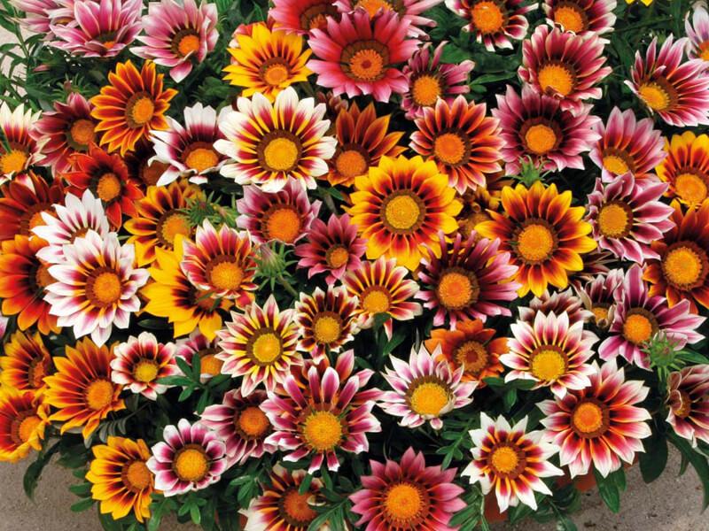 Gazanya Çiçeği Nasıl Çoğaltılır?