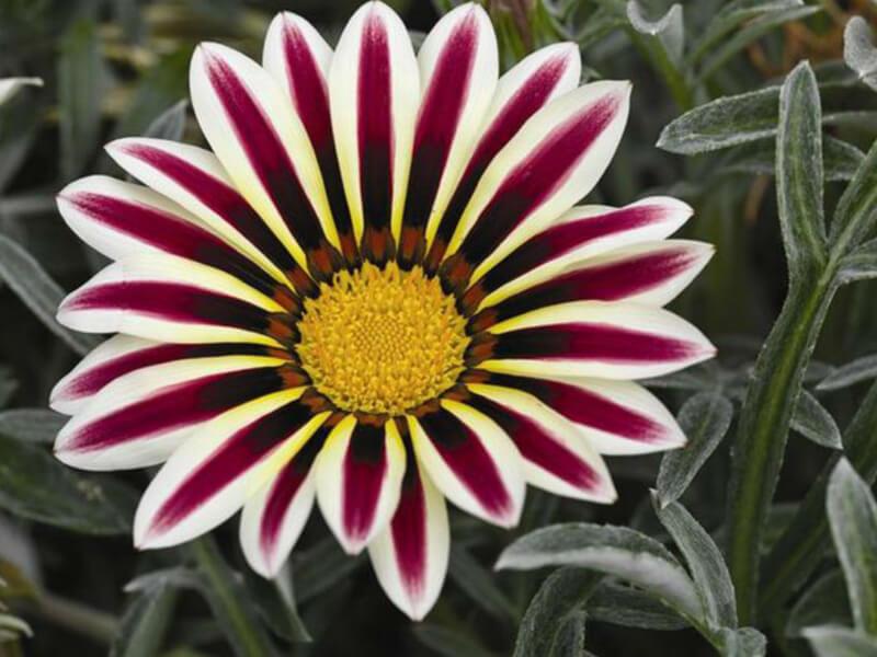 Gazanya Çiçeği Nerede Durmalı?