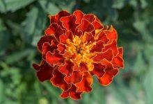 Kadife Çiçeği Bakımı ve Özellikleri