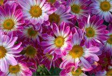 Kasımpatı Çiçeği Bakımı ve Özellikleri