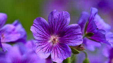 Menekşe Çiçeği Bakımı ve Özellikleri