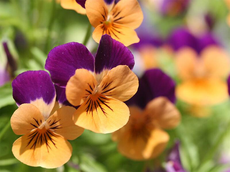 Menekşe Çiçeği Tohumu