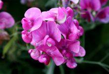 Bezelye Çiçeği Bakımı ve Özellikleri Nelerdir?