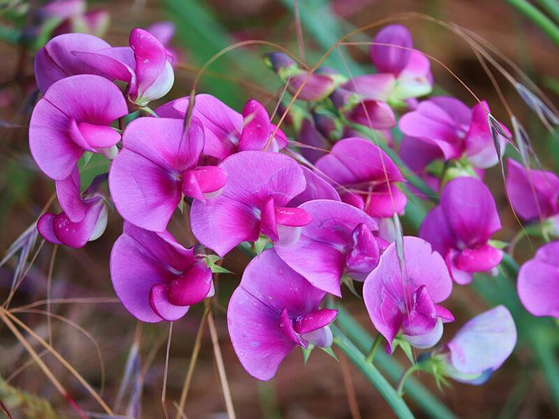 Bezelye Çiçeği Tohumu