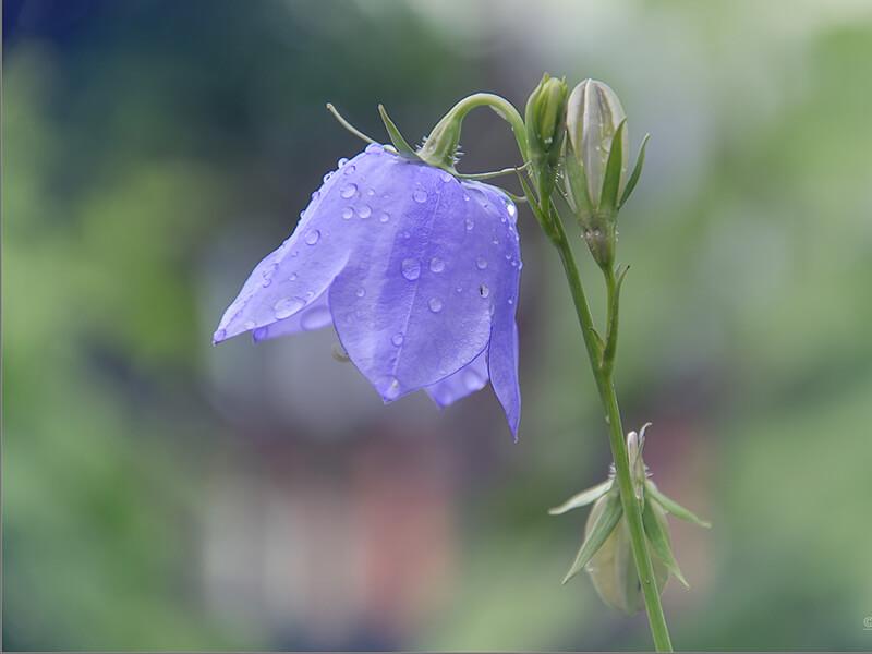 Çan Çiçeği Bakımı