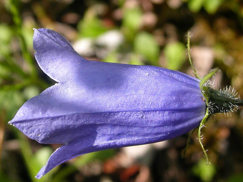 Çan Çiçeği Neden Kurur?
