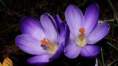 Çiğdem Çiçeği Bakımı ve Özellikleri