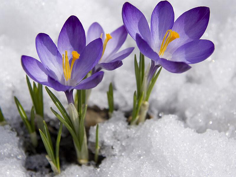 Çiğdem Çiçeği Özellikleri Nelerdir?