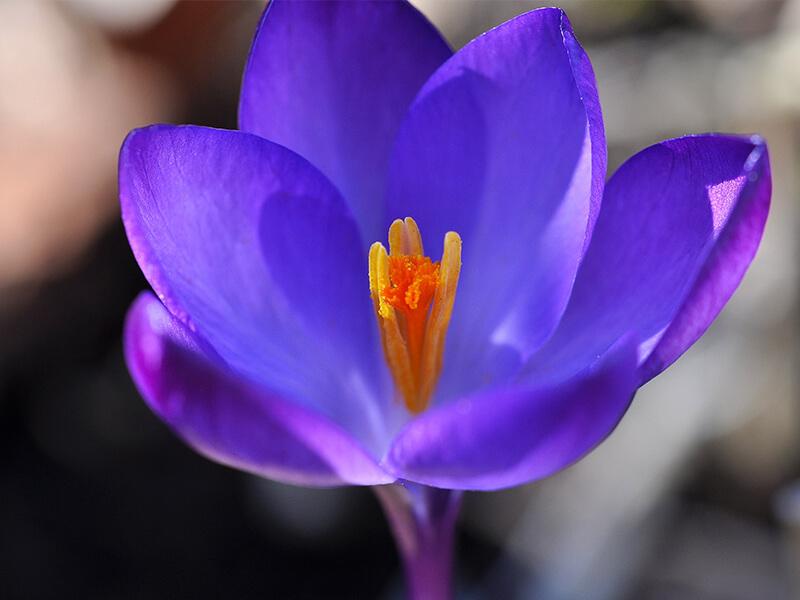 Çiğdem Çiçeği Tohumu