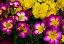 Çuha Çiçeği Bakımı ve Özellikleri