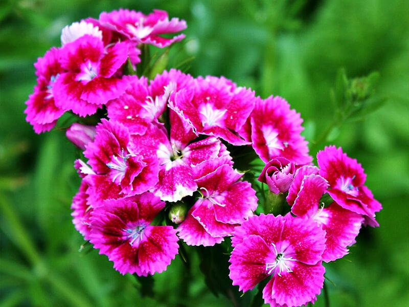 Çuha Çiçeği Tohumu