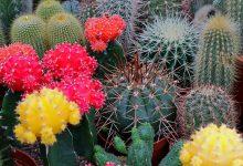 Kaktüs Çiçeği Bakımı ve Özellikleri