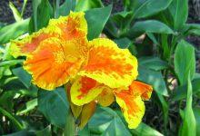 Kana Çiçeği Bakımı ve Özellikleri