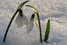 Kardelen Çiçeği Bakımı ve Özellikleri
