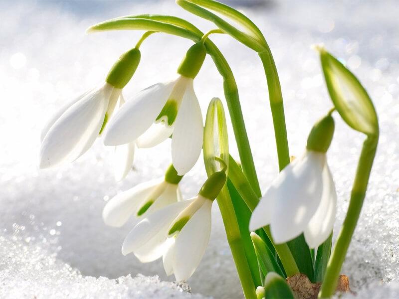 Kardelen Çiçeğinin Özellikleri