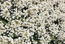 Kraliyet Halısı Çiçeği Bakımı ve Özellikleri