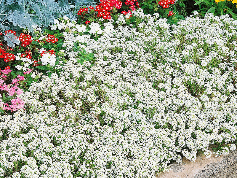 Kraliyet Halısı Çiçeği Özellikleri
