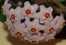 Mum Çiçeği Bakımı ve Özellikleri