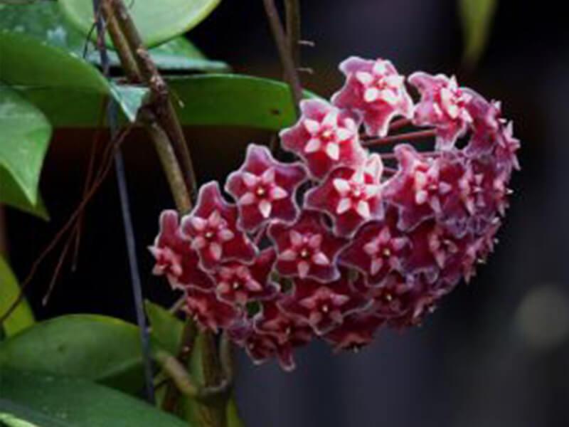 Mum Çiçeği Tohumu