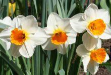 Nergis Çiçeği Bakımı ve Özellikleri