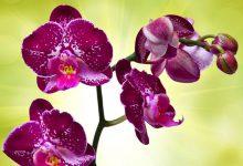 Orkide Çiçeğinin Bakımı ve Özellikleri