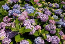 Ortanca Çiçeği Bakımı ve Özellikleri