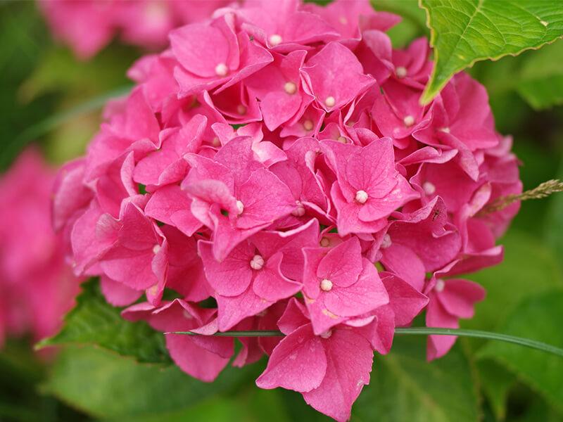 Ortanca Çiçeği Bakımı