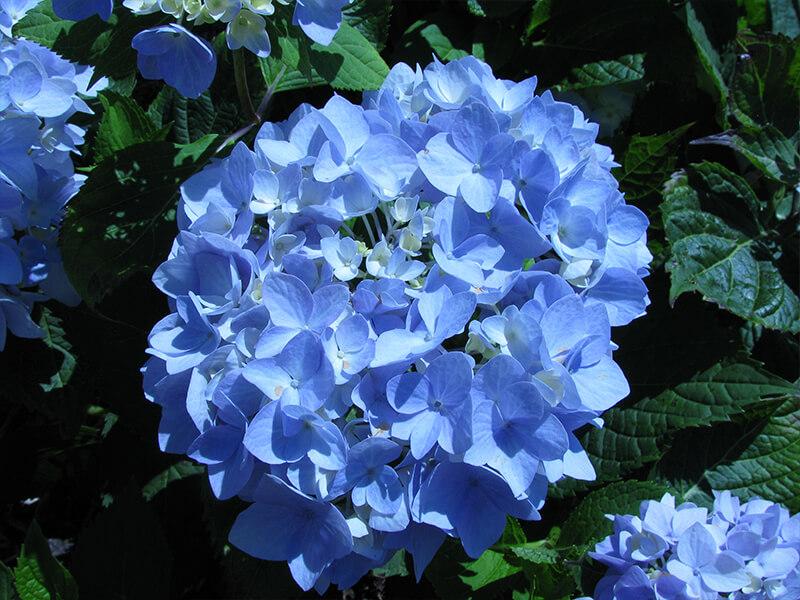 Ortanca Çiçeği Tohumu