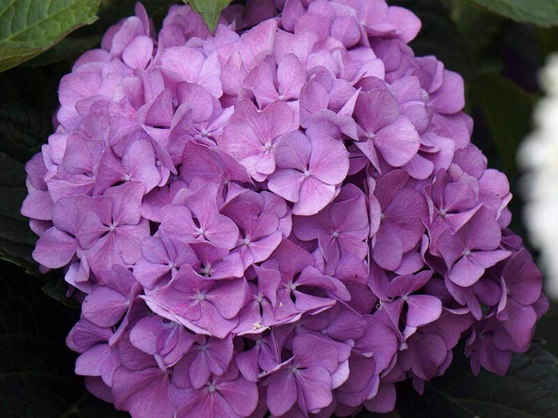 Ortanca Çiçeğinin Özellikleri Nelerdir?