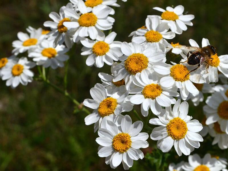 Papatya Çiçeğinin Bakımı Nasıl Yapılır?