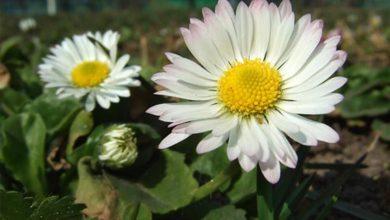 Papatya Çiçeğinin Bakımı ve Özellikleri
