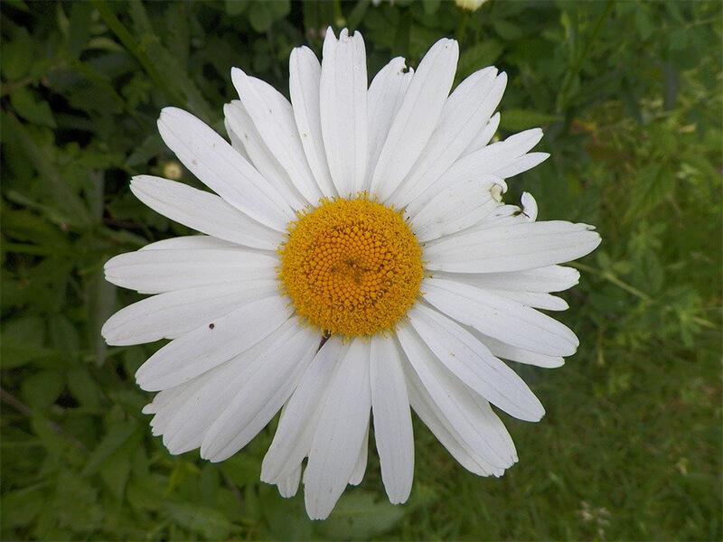 Papatya Çiçeğinin Bakımı