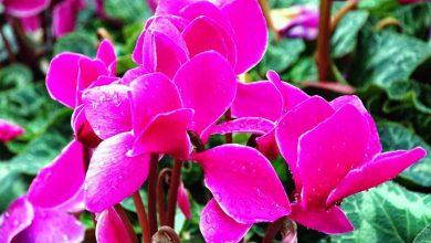 Siklamen Çiçeği Bakımı ve Özellikleri