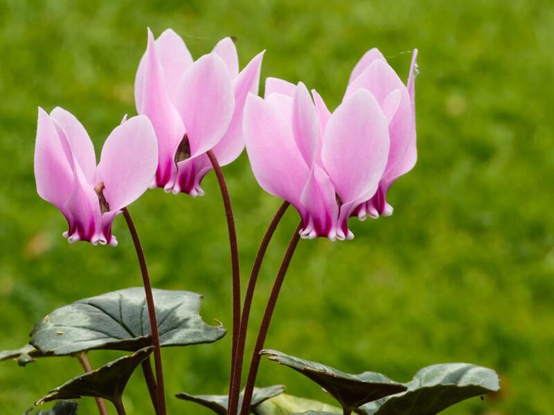 Siklamen Çiçeği Ne Zaman Açar?