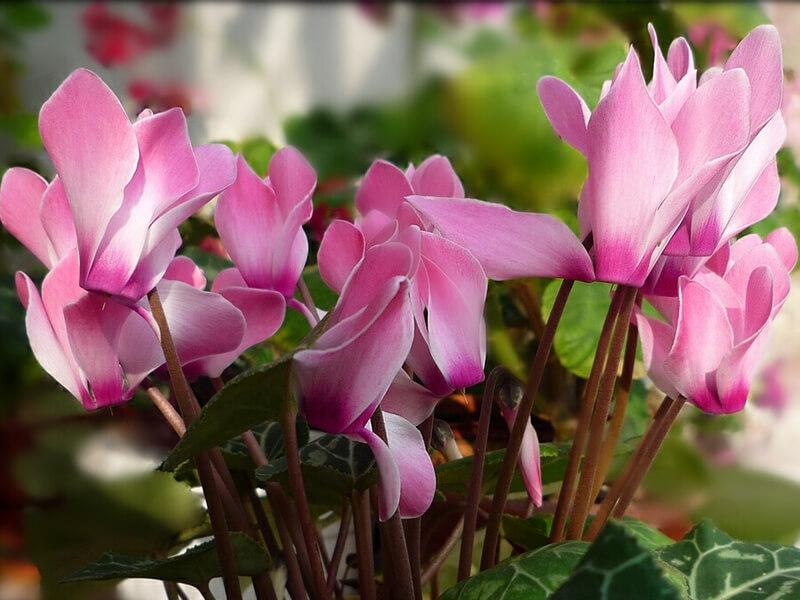Siklamen Çiçeği Tohumu