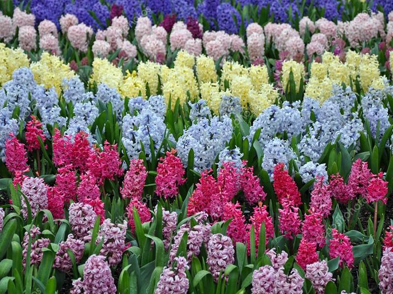 Sümbül Çiçeği Ne Zaman Çiçek Açar?