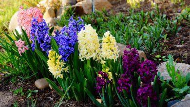 Sümbül Çiçeğinin Bakımı ve Özellikleri