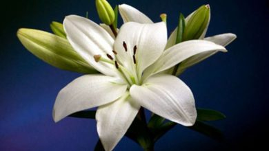 Zambak Çiçeğinin Bakımı ve Özellikleri