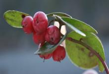 Wintergreen Yağı (Kış Yeşili Yağı) Ne İşe Yarar?