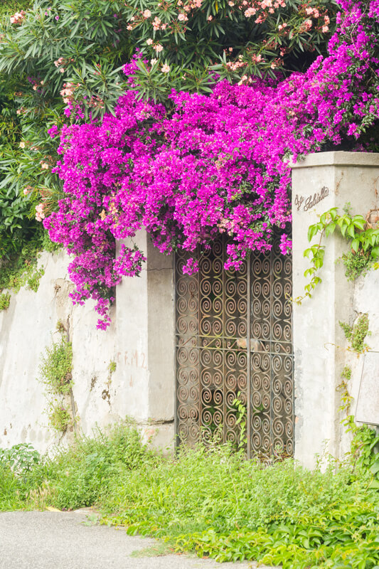 Begonvil çiçeğinin özellikleri