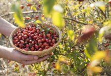 Kuşburnu meyvesi nasıldır? Kuşburnunun faydaları nelerdir?